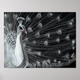 White Peacock Art Poster