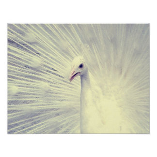 White Peacock Fine Art Photography Poster