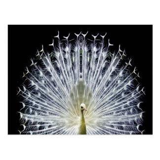 White Peacock Pavo Animalia Postcard