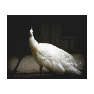 White Peacock Photo Canvas Print
