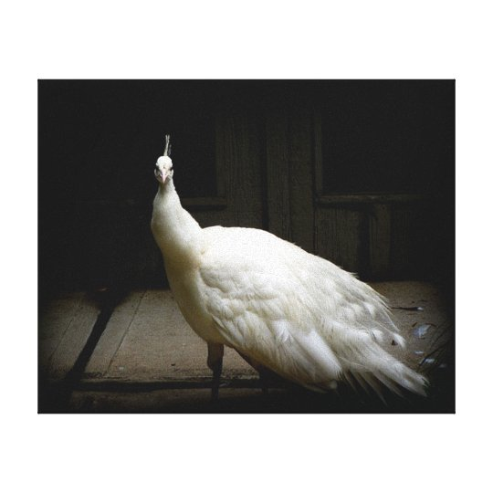 White Peacock Photo Canvas Print