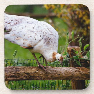 White Peacock Photograph Drink Coaster