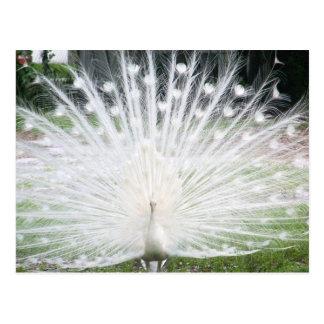White Peacock Postcard