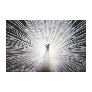 White Peacock with Feathers Fanned Canvas Print