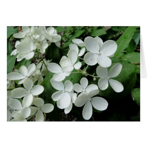 White Pee Gee Hydrangea Flowers Blank Note Card Cards