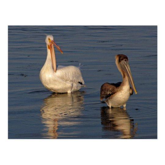 White Pelican, Brown Pelican Postcard
