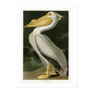 White Pelican John James Audubon Birds of America Postcard