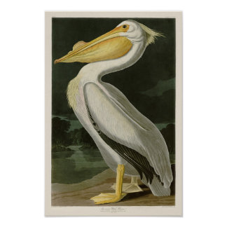 White Pelican John James Audubon Birds of America Poster