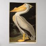 White Pelican, John James Audubon Poster