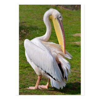 White pelican on grass postcard