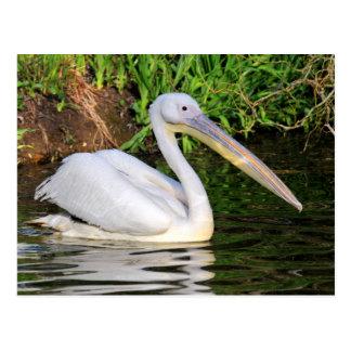White pelican on the water postcard