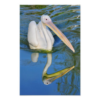 White pelican on the water poster