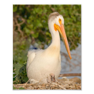 White Pelican with Baby Photography Print