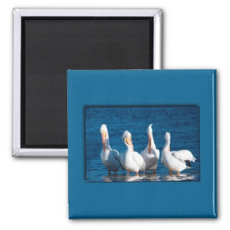 White Pelicans magnets
