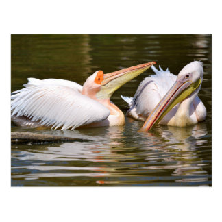 White pelicans on the water postcard