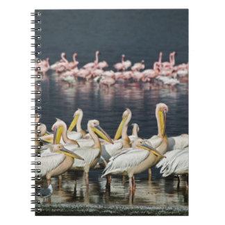 White Pelicans, Pelecanus onocrotalus, Lake Notebook