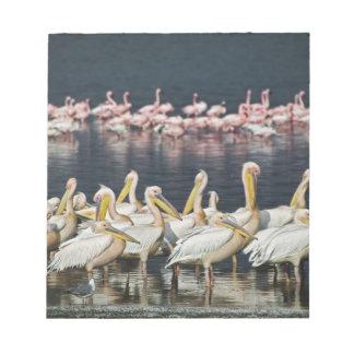 White Pelicans, Pelecanus onocrotalus, Lake Notepad