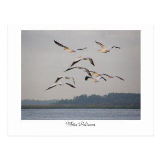 White Pelicans Postcard