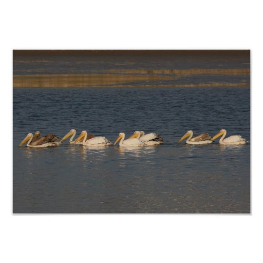White Pelicans Poster