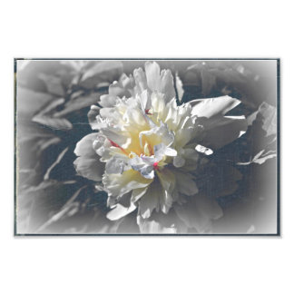 white peony photographic print