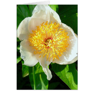 WHITE PEONY WITH YELLOW CENTER/CHERRY HILL PEONY CARD