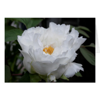 White Peony with Yellow in its heart Floral Photo Card
