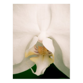 White Phalaenopsis Orchid Postcard
