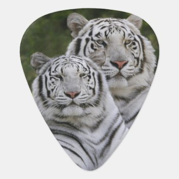 White Phase  Bengal Tiger  Tigris Guitar Pick by DanitaDelimont at Zazzle