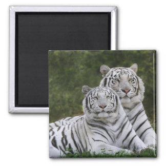 White phase, Bengal Tiger, Tigris Magnet