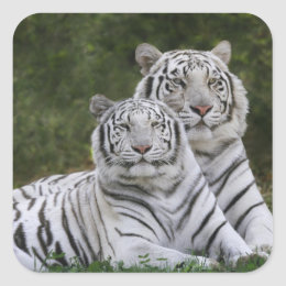 White phase, Bengal Tiger, Tigris Square Sticker