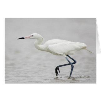 White-phase Reddish Egret (Egretta rufescens) Card