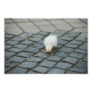 White pigeon photo print