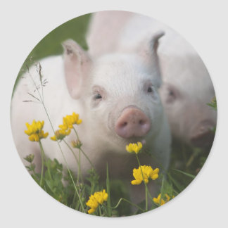 White Piglet Surrounded by Yellow Flowers Classic Round Sticker