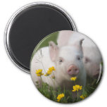 White Piglet Surrounded by Yellow Flowers Refrigerator Magnet