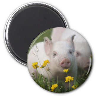 White Piglet Surrounded by Yellow Flowers Magnet