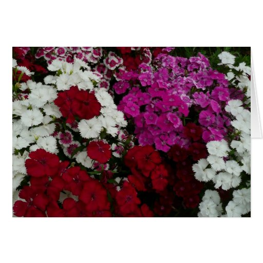 White, Pink and Red Dianthus Blank Card