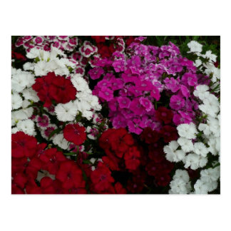 White, Pink and Red Dianthus Floral Photography Postcard