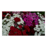White, Pink and Red Dianthus Print