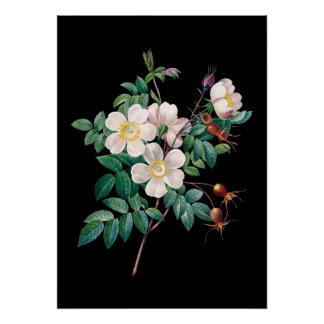 White pink rose black background print