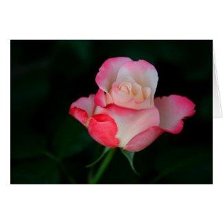 white-pink rose card