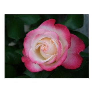 White-Pink Rose Postcard