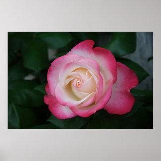 White-Pink Rose Poster
