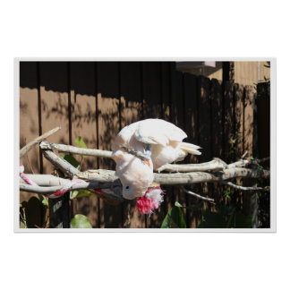 white playful cockatoo poster