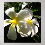 White Plumaria Frangipani Flowers Poster Print Print