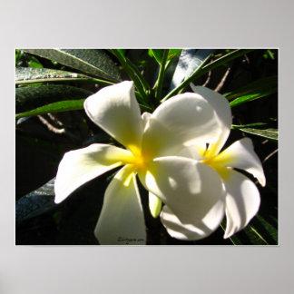 White Plumaria Tropical Flowers Poster Print