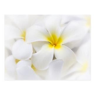 White Plumeria Flower Frangipani Floral Flowers Postcard