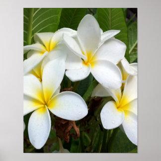White Plumeria Flower Poster