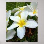 White Plumeria Flower Posters