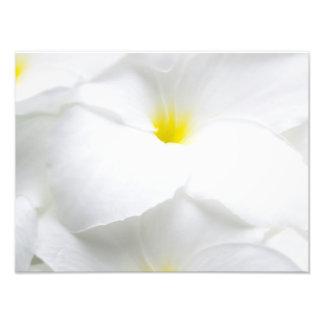 White Plumeria Frangipani Hawaiian Tropical Flower Photograph