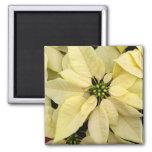 White Poinsettias 2 Inch Square Magnet